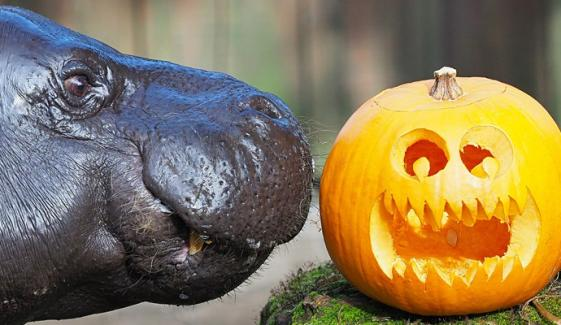 Animals Enjoy Spooky Halloween Treats At London Zoo