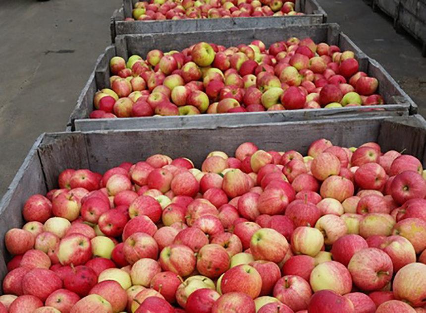 چور درختوں سے سیب لے اُڑے