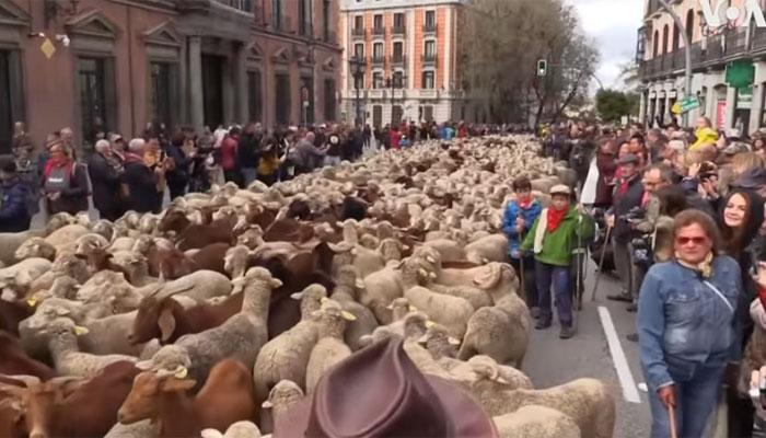 اسپین: سینکڑوں بھیڑوں کا سڑکو ں پر احتجا ج