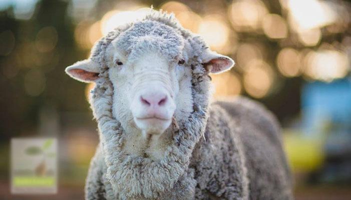 سب سے زیادہ اون رکھنے والا بھیڑ مرگیا