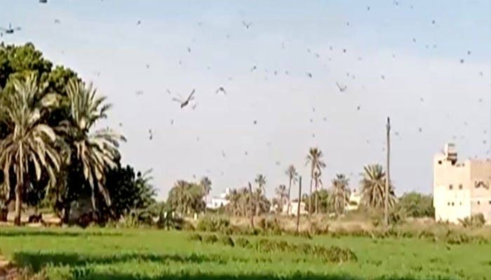کراچی: ٹڈی دل کا حملہ، کھڑی فصل تباہ ہونے کا خدشہ
