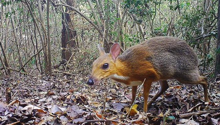 ویتنام کے گھنے جنگل سے'ماؤس ڈیئر' دریافت