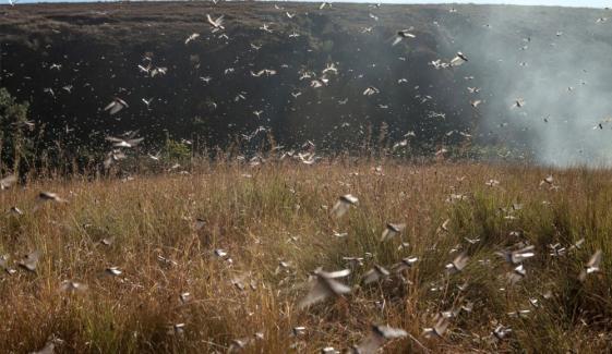 Karachi Locust Damage Crops In Gadap Karachi