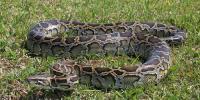 Python Caught Alive In Ajk Village