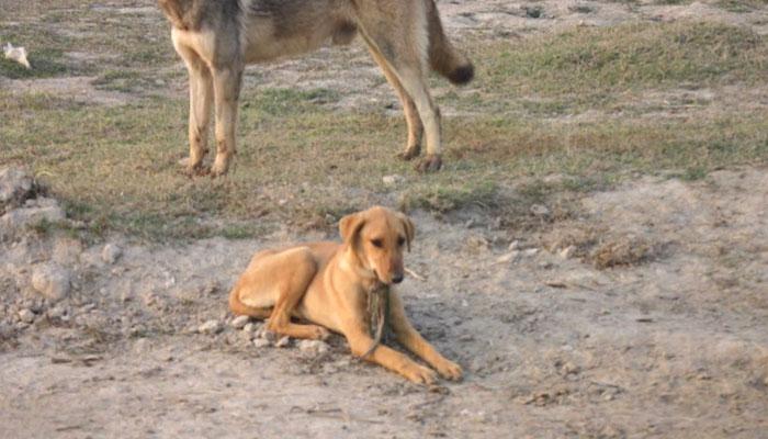 اوکاڑہ: آوارہ کتے کے کاٹنے سے 3 افراد زخمی