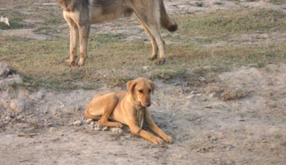 Okara Stray Dog Bite 3 People Injured