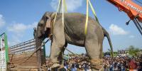 Assam Elephant Bin Laden Dies In Captivity