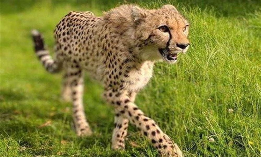 جہلم میں چیتے کا حملہ، 2 افراد زخمی، کئی مویشی ہلاک