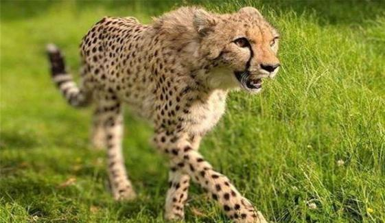 Two People Injured Many Cattle Killed By Cheetah Attack In Jhelum