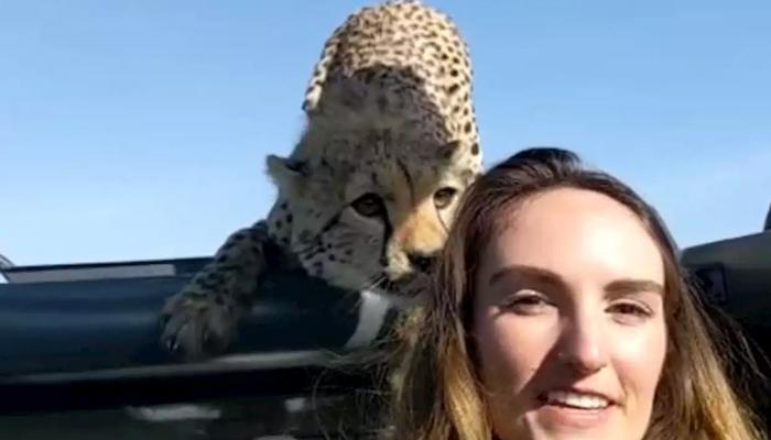 خونخوار چیتا اور بہادر خاتون آمنے سامنے