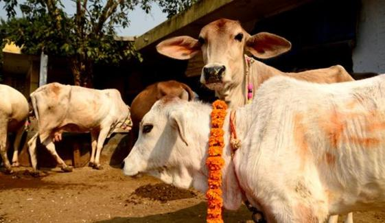 Indian Leader Demands Cow Census