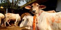 Indian Leader Demands Cow Census