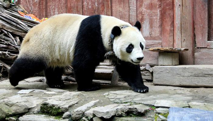چین: پانڈوں کی برفباری میں شرارتیں