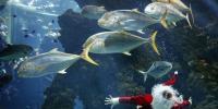 Santa Claus Dives Into Fish Tank