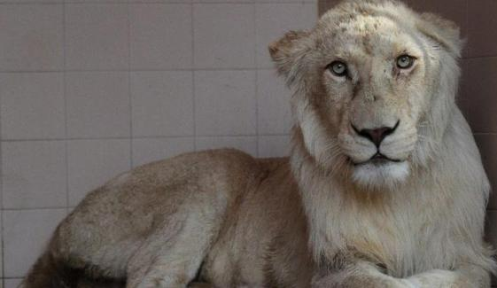 Lion Attacks Zoo Keeper In Karachi