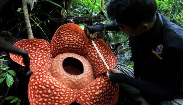 انڈونیشیا، دنیا کا سب سے بڑا پھول دریافت