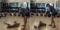 Funny Moment A Golden Retriever Joins A Core Workout Class