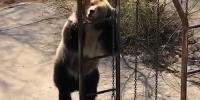Disco Dancing Bear