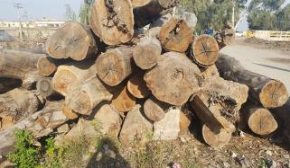 State Trees Stolen From Rahim Yar Khan