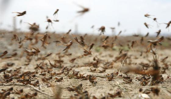 Locust Attack Crops In Arifwala