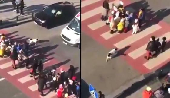 Stray Dog Praised To Help Kids Crossing Road Video Goes Viral