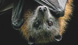 How Do Bats Live With So Many Viruses