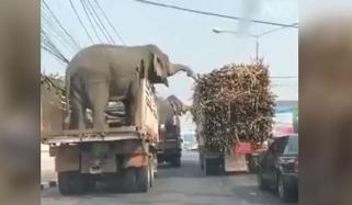 نئی دہلی: ٹرک سوار دو ہاتھیوں نے گنوں پر ہاتھ صاف کر دیے