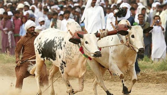 مویشیوں کی دوڑ اور 'گوئے' پر کھیلا جانے والا جوا