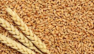 کاشتکار سے 1400روپے فی من گندم خریدی جائے گی، وزیرخوراک پنجاب