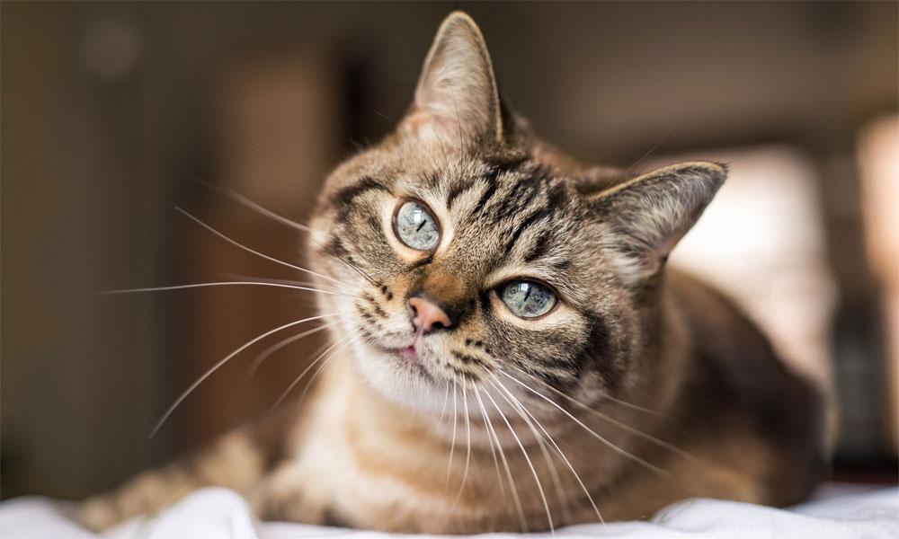پالتو بلیاں بھی کورونا کی منتقلی کا سبب بن سکتی ہیں: تحقیق