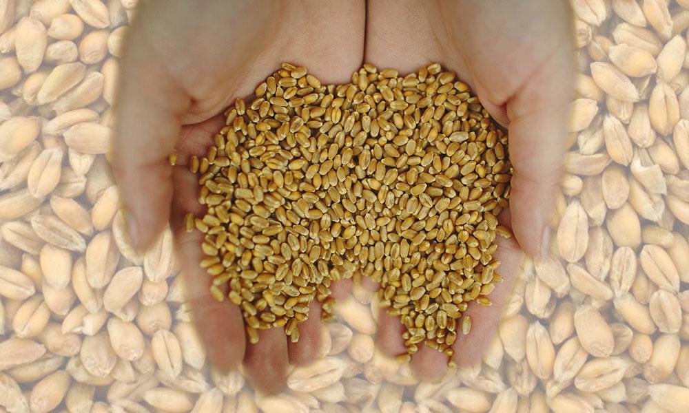 ٹھٹھہ، بدین میں نجی شعبے کی گندم خریداری پر پابندی ختم