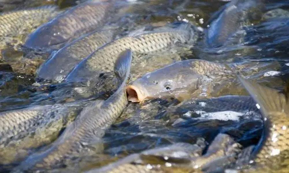 ملک میں تلاپیہ مچھلی کی فارمنگ تیزی سے مقبول