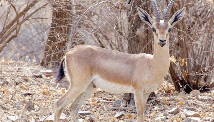 محکمہ جنگلی حیات کی عمر کوٹ میں کارروائی، 18 ہرن برآمد