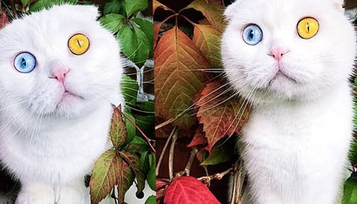 بلی کی منفرد آنکھوں نے سوشل میڈیا پر دھوم مچا دی