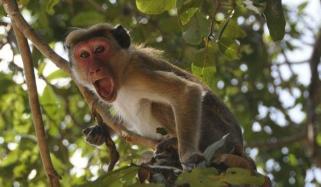 نئی دلی : بندروں کا لیبارٹری اسسٹنٹ پر حملہ ، کورونا ٹیسٹ کِٹس لے اُڑے
