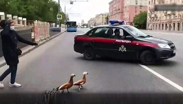 روس: پولیس اہلکار نے بطخ اور اسکے بچوں کو سڑک پار کروائی