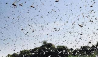 مختلف اضلاع کے باغات اورفصلوں پر ٹڈیوں کے حملے