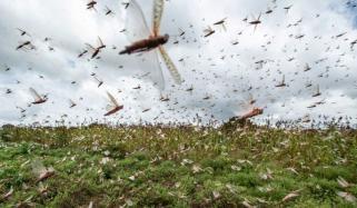 چاروں صوبوں میں ٹڈیوں کے فصلوں پر حملوں سے کاشتکاروں کا نقصان
