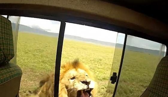 سیاح شیر کا نوالہ بننے سے بال بال بچ گیا