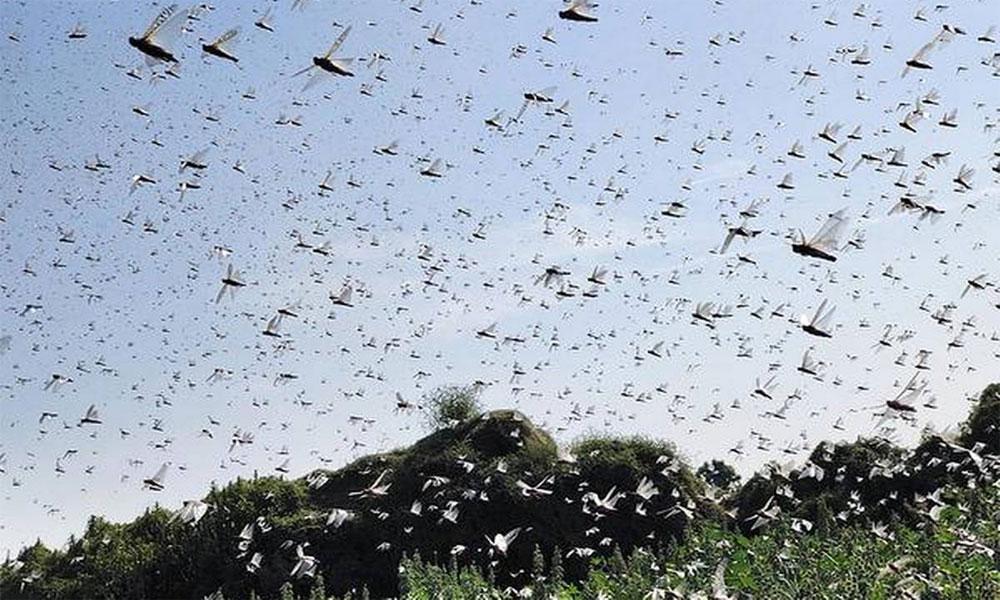 ٹڈی دل نے بلوچستان میں تیار فصلیں اور باغات اجاڑ دیئے