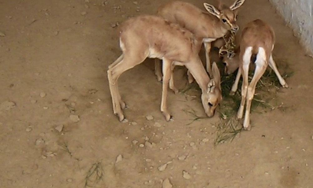 عمرکوٹ سے 3 قیمتی ہرن برآمد، ملزم گرفتار