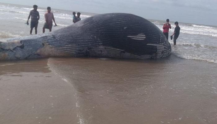 بھارت :مردہ وہیل بہہ کر ساحل پر آگئی