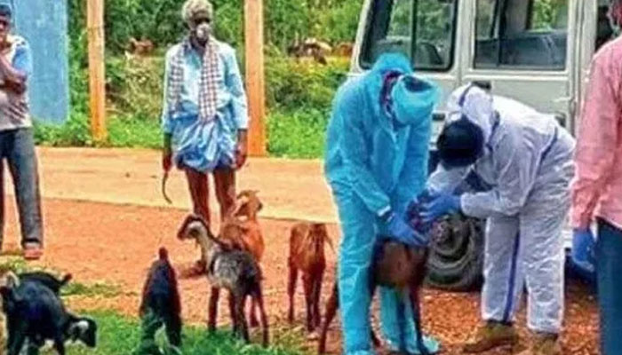 چرواہے کا کورونا ٹیسٹ مثبت آنے پر 47 بکریاں قرنطینہ میں