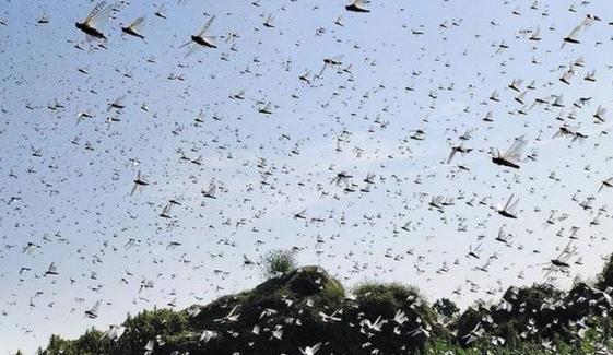 گڈاپ ٹاؤن میں تیار فصلوں پر ٹڈیوں کا حملہ، فصلیں تباہ