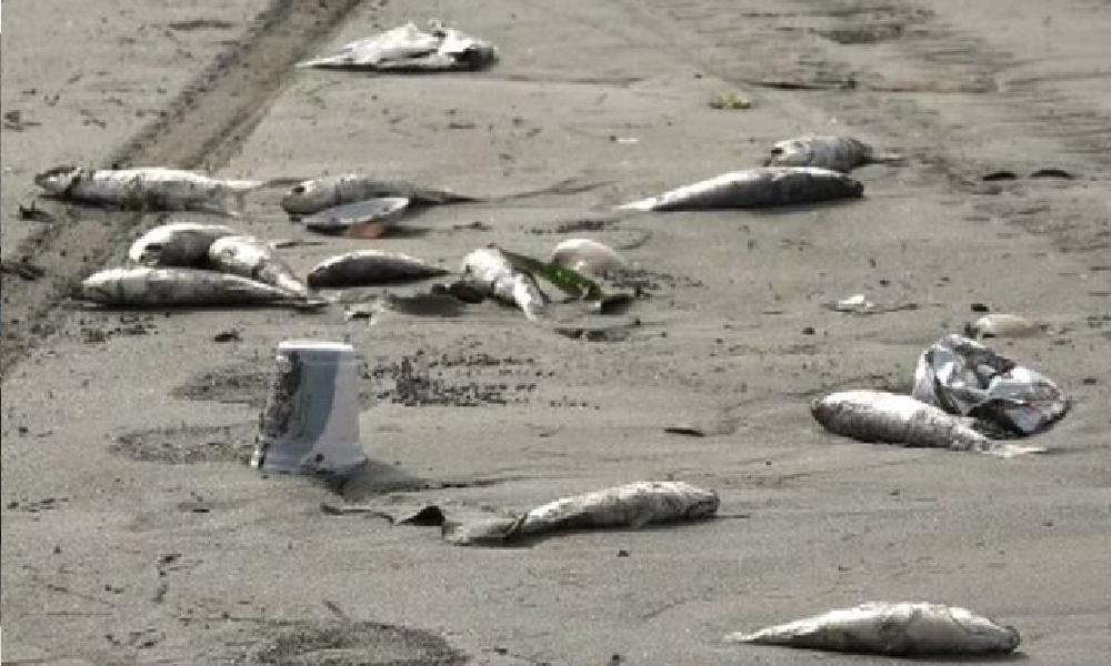 کراچی، سی ویو ساحل پر آئی مردہ مچھلیاں تاحال موجود