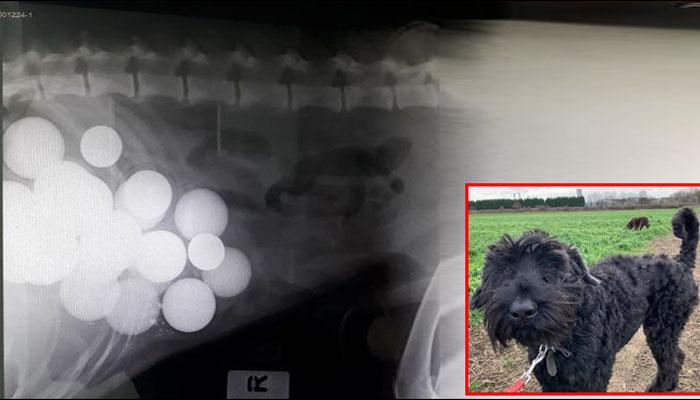 کتے کے پیٹ میں سیکڑوں گیندوں کی موجودگی کا انکشاف