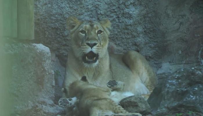 روم کے چڑیا گھر میں ننھے شیر پہلی بار عوام کے سامنے پیش