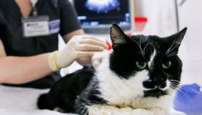 برطانیہ کی پالتو بلی میں کورونا وائرس کا ٹیسٹ مثبت