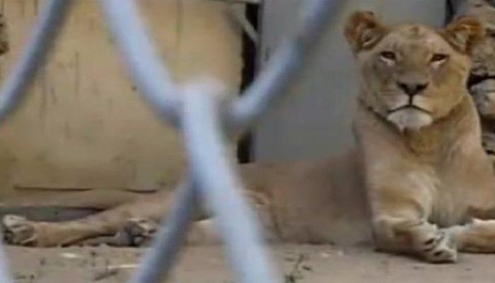 اسلام آباد: مرغزار چڑیا گھر کی شیرنی ہلاک، شیر قریب المرگ