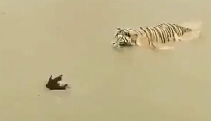 بطخ نے پانی کے اندر چیتے کو دن میں تارے دکھادیئے، ویڈیو وائرل